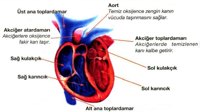 Photo of Ana Toplardamarlar